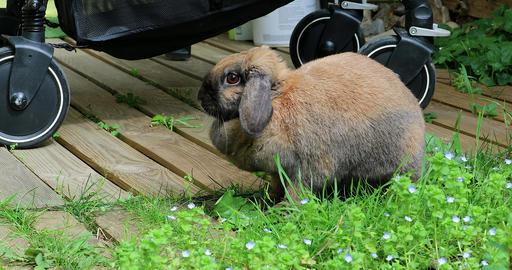 Adorable Brown Head Rabbit Bunny Footage