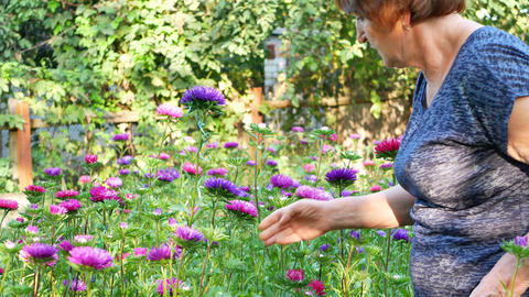 Florist woman is pruning violet and pink asters in garden GIF