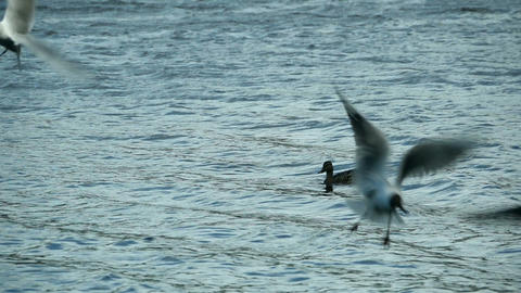 Flying seagulls slow motion Live Action
