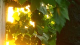 Grapes And Sun stock footage