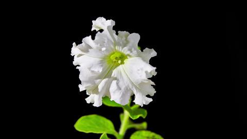 Opening Petunia Flower Footage