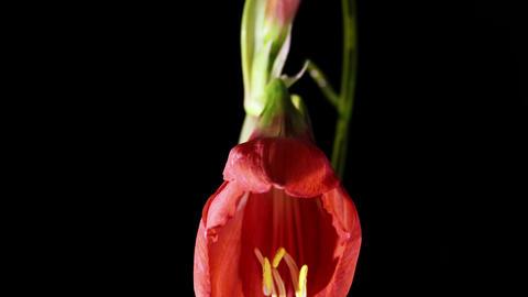 Amaryllis(Hippeastrum sp.) flower Footage