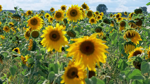 Sunflowers fresh harvest field at windy sunny day Stock Video Footage