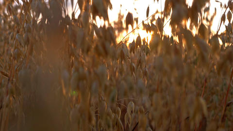 Close up gold oats in sunlights at sunset field GIF