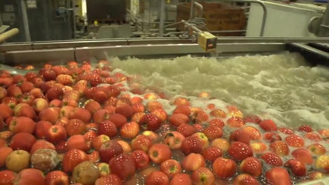 Fresh Picked Apple Harvest. The Process Of Washing Apples... Stock Video Footage