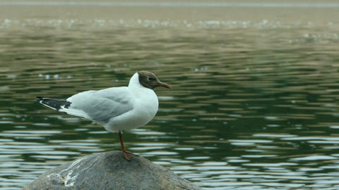 Black-headed gull stands Live Action