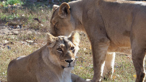 Asiatic lioness (Panthera leo persica). A critically endangered species Live Action