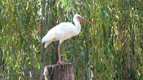 White Ibis. The Ibis is standing in the sunlight Live Action