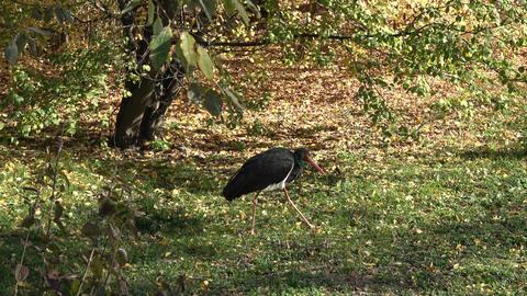 Black bird looking for food Footage