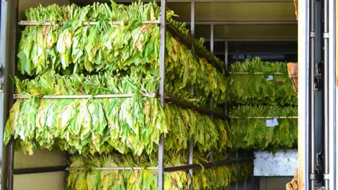 Before and after of tobacco leaf in stove factory Footage