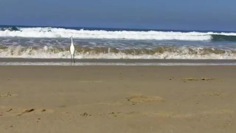 Egret stands in the surf then walks along the Pacific Ocean shore at Venice Live Action