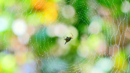 Spider (Hosselt's Spiny Spider) clean it'self on web in forest, Thailand Live Action