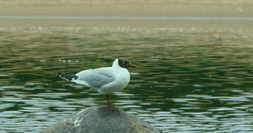one Black-headed seagull stands Footage