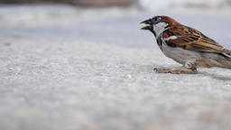 Sparrow Picks Up Bread Crumb From Cement Live Action
