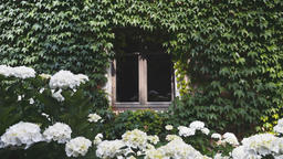 House Window Surrounded by Clinging Vine and Pretty White Flowers Below Footage
