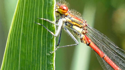 Dragonfly In Extreme Close Up stock footage