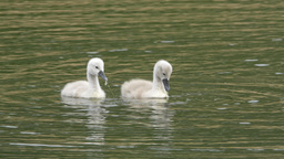 Mute Swan Baby Chicks Feeding and Swimming Footage