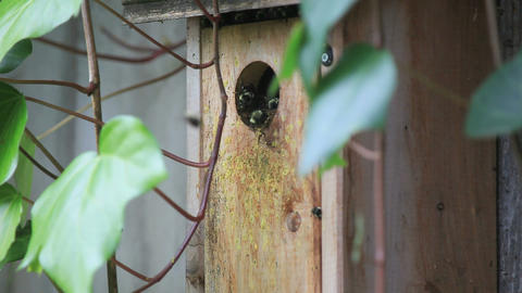 Birdhouse full of nesting bumblebees Footage