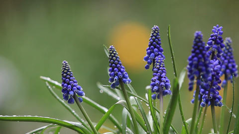 Grape Hyacinths In The Rain stock footage