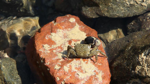 Alone hermit crab crawling on stony surface near Red sea Footage