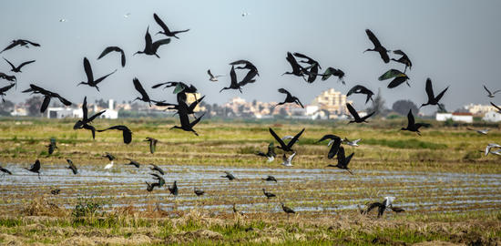 Glossy ibis group disorder fleeing flight, shallow depth of field Photo