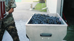 Pouring ripe grapes into grinder Footage
