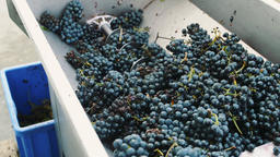 Processing of ripe grapes in machine Footage