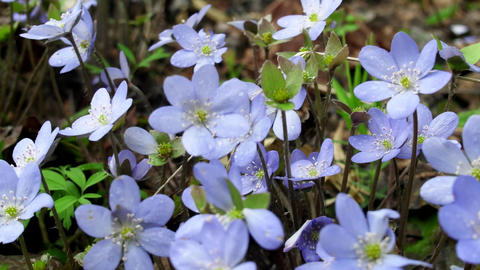 Spring flowers Europe. Noble mayflower Live Action