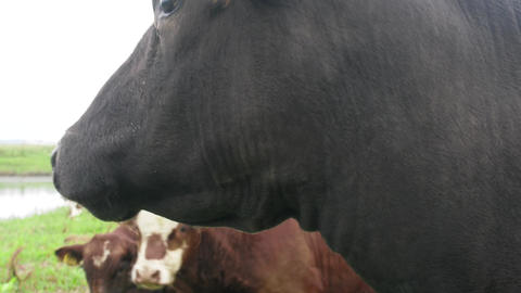 Cow closeup on meadow, tagged owners Footage
