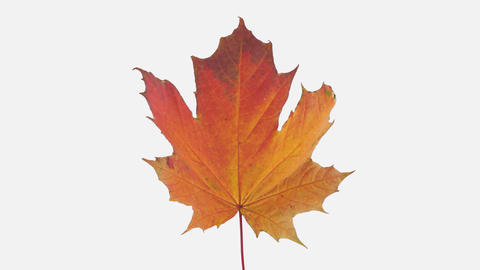 Time-lapse of drying Maple leaf with ALPHA channel Footage