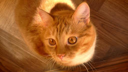 Close-up shooting of awesome home ginger kitty, sitting on parquet and looking Footage