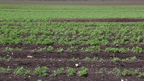 Black Blizzard (dust devil. dust whirl) on agricultural lands Footage