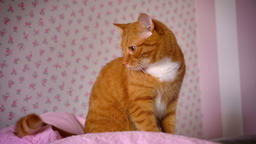Cute playful red cat is sitting on pink bed at home and looking relaxed at room Footage