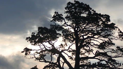 Old pine tree with semicircular crown on background of gloomy sky Footage