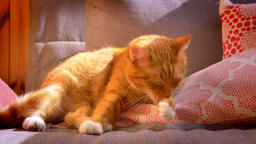 Calm beautiful enjoyed red cat is lying on red pillow at home and licking his Footage