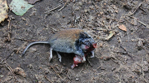 Mouse vole half eaten by a bird of prey Live Action
