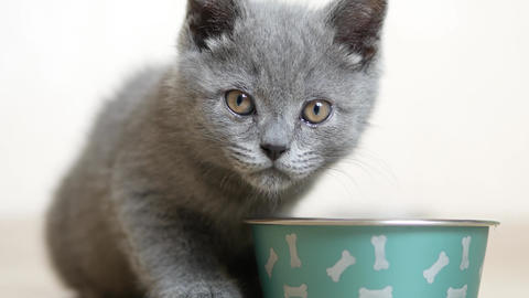 British kitten eating Stock Video Footage