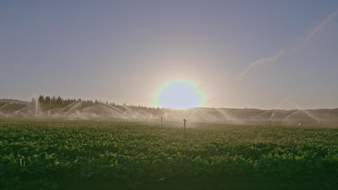 Wide view of many impact sprinklers irrigating a field during sunset Footage