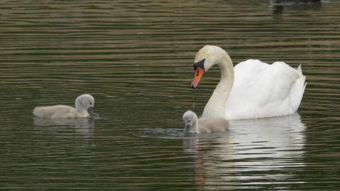 Mute Swan Mother with Baby Chicks Swimming in Lake Footage