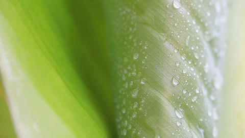 Water drops on a tropical leaf in summer Footage