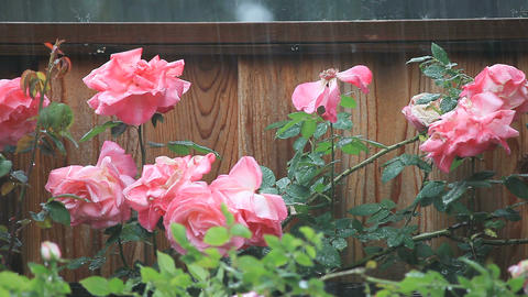 Rain on fence and roses Footage
