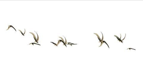 4k flock of pigeons birds fly over,migratory birds eagle animal background Footage