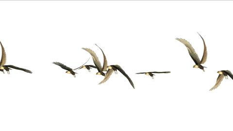 4k flock of pigeons birds fly over,migratory birds animal eagle background Footage