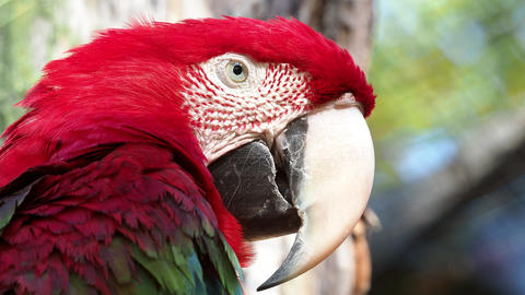 Big red parrot, red and green Macaw, Ara chloroptera Footage
