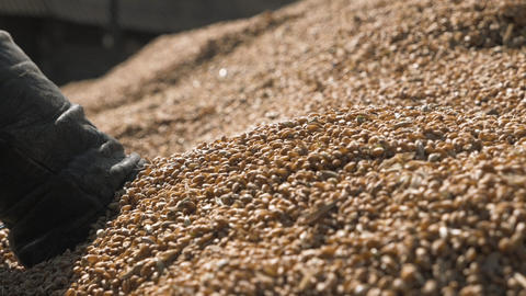 Man hands pouring corn or wheat kernels harvest GIF