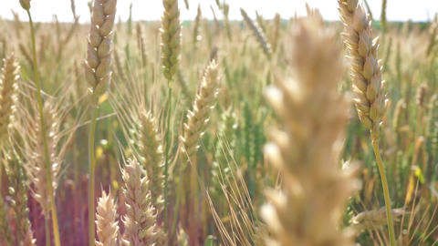 Beautiful spikelets of wheat. Close-up ビデオ