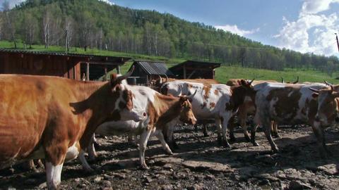 Milk Farm Live Action