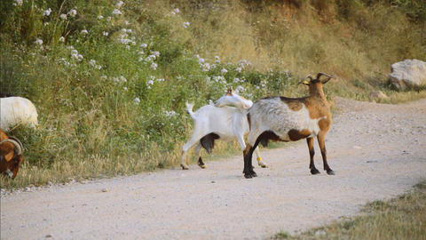 Goats Scratch Themselves in the Middle of the Gravel Path GIF
