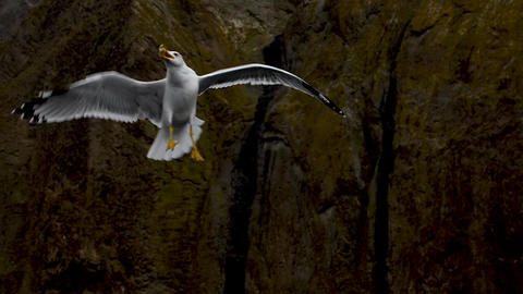 Seagull slow motion flight at backdrop of the rocks and catch pieces of the Footage