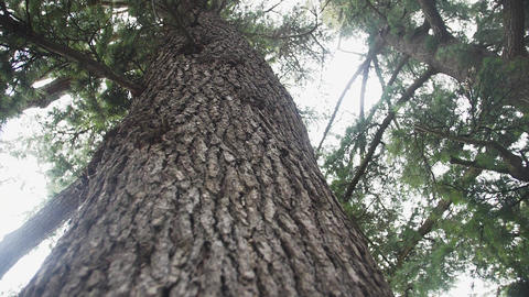 Slow motion along tree trunk up to branches wide crown backs the sky Live Action